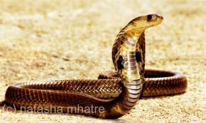 Common Cobra by Natasha
